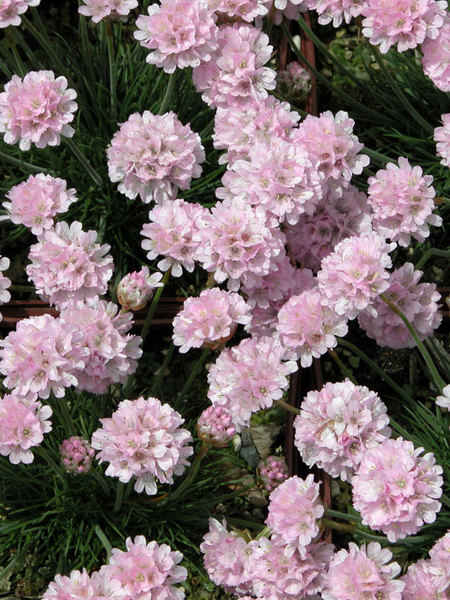 22 Sandy Soil Perennials For Shade Armeria Rosa Stolz Or Sea Thrift #SeaThrift #RosaStolz #Armeria #Perennials #ShadeLoving #ShadeLover #SandySoil #SandySoilPerennials #DroughtResistant #DroughtTolerant #Gardening #Landscape #BluestonePerennials #Evergreen #CutFlowers #HeatTolerant #SeasideTolerant