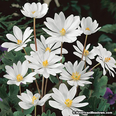 30 Rock Garden Plants That Perform Like Rock Stars Bloodroot #RockGardens #Bloodroot #GroundCover #BeeFriendly #Native #FallisForPlanting #Garden #Landscape #Organic #AmericanMeadows