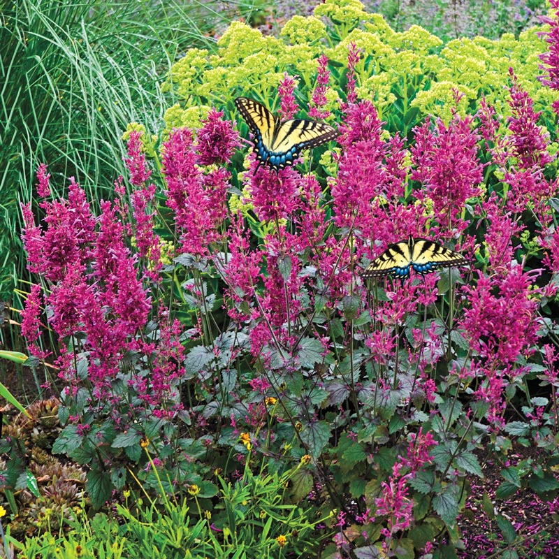 30 Rock Garden Plants That Perform Like Rock Stars Agastache Bolero Hummingbird Mint #RockGardens #Agastache #AgastacheBolero #HummingbirdMint #GroundCover #AttractsButterflies #AttractsHummingbirds #AttractsBees #AttractsHoneyBees #FallisForPlanting #Garden #Landscape #Organic #SpringHillNurseries
