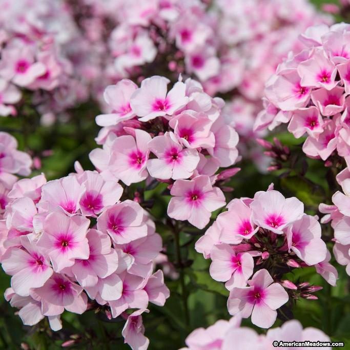 22 Sandy Soil Perennials For Shade Bright Eyes Phlox #BrightEyes #Phlox #Perennials #ShadeLoving #ShadeLover #SandySoil #SandySoilPerennials #DroughtResistant #DroughtTolerant #Gardening #Landscape #AmericanMeadows #Fragrant #Native #CutFlowers #AttractsHummingbirds #HummingbirdLover #AttractsButterflies #ButterflyLover