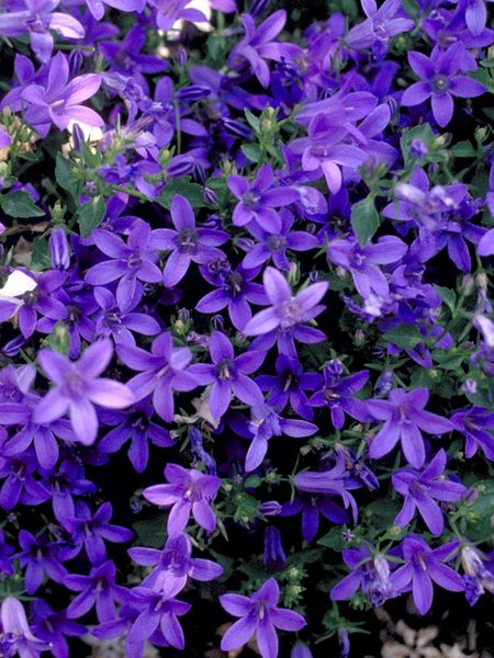 30 Rock Garden Plants That Perform Like Rock Stars Campanula Poscharskyana #RockGardens #Campanula #Bellflower #CampanulaPoscharskyana #GroundCover #FallisForPlanting #DryShadeTolerant #ShadeTolerant #FootTrafficTolerant #SeasideTolerant #ContainerGardening #Garden #Gardening #Landscape #Organic #BlueStonePerennials