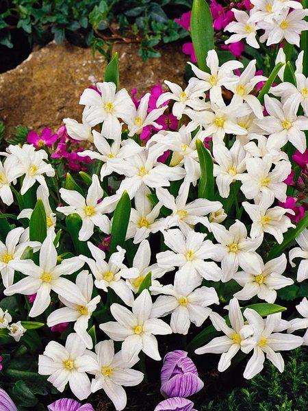 20 Sensational Spring Blooming Bulbs to Plant This Fall Chionodoxa Alba Or Glory Of The Snow #Allium #Spring #SpringBulbs #PlantSpringBulbs #FallisForPlanting #SpringBlooming #SpringGarden #Garden #Landscape #Organic #BluestonePerennials #GloryofTheSnow #DeerResistant