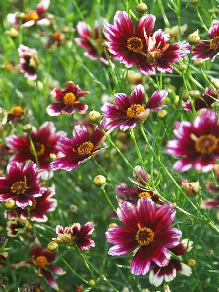 50 Sandy Soil Perennials That Like Sun Coreopsis Berry Chiffon #BerryChiffon #Coreopsis #Tickseed #DeerResistant #ContainerGardening #HumidityTolerant #SeasideTolerant #Perennials #SunLoving #SunLover #SandySoil #SandySoilPerennials #Gardening #Landscape #BluestonePerennials #AttractsButterflies #ButterflyLover