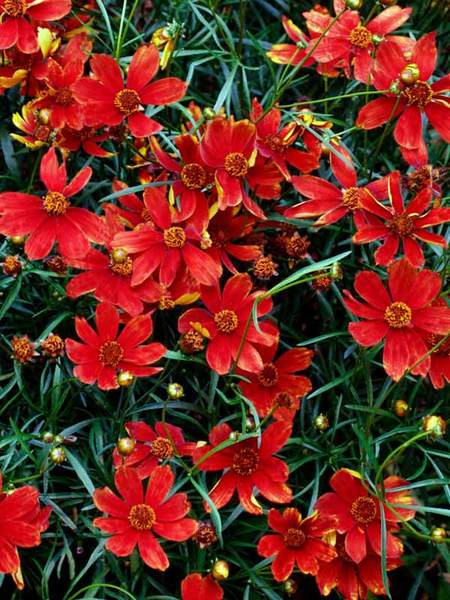 50 Sandy Soil Perennials That Like Sun Coreopsis Broad Street or Tickseed #Coreopsis #BroadStreet #Tickseed #DeerResistant #SeasideTolerant #HumidityTolerant #DroughtTolerant #ContainerGardening #Perennials #SunLoving #SunLover #SandySoil #Gardening #Landscape #BluestonePerennials #AttractsButterflies #ButterflyLover