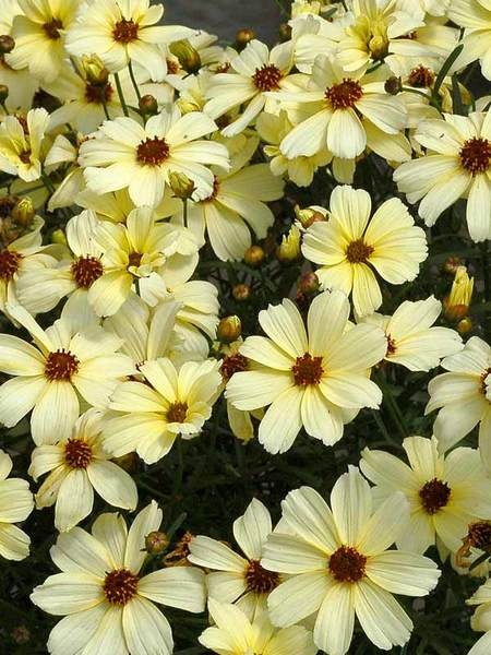 50 Sandy Soil Perennials That Like Sun Coreopsis Buttermilk #Coreopsis #CoreopsisButtermilk #Tickseed #DeerResistant #HumidityTolerant #SeasideTolerant #ContainerGardening #Perennials #SunLoving #SunLover #SandySoil #Gardening #Landscape #BluestonePerennials #AttractsButterflies #ButterflyLover