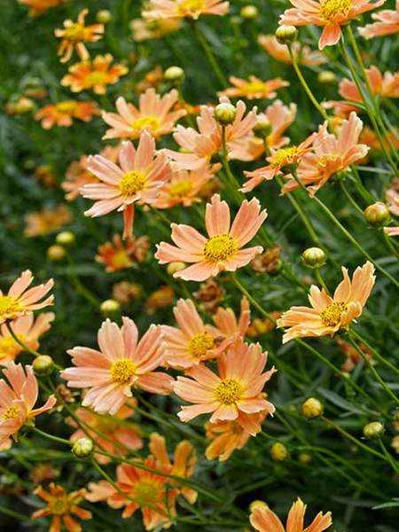 50 Sandy Soil Perennials That Like Sun Coreopsis Creme Caramel #Coreopsis #CoreopsisCremeCaramel #Tickseed #DeerResistant #HumidityTolerant #SeasideTolerant #ContainerGardening #Perennials #SunLoving #SunLover #SandySoil #Gardening #Landscape #BluestonePerennials #AttractsButterflies #ButterflyLover