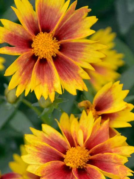 50 Sandy Soil Perennials That Like Sun Coreopsis Enchanted Eve #Coreopsis #EnchantedEve #Tickseed #DeerResistant #HumidityTolerant #SeasideTolerant #ContainerGardening #Perennials #SunLoving #SunLover #SandySoil #Gardening #Landscape #BluestonePerennials #AttractsButterflies #ButterflyLover