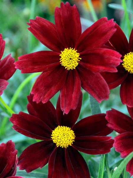 50 Sandy Soil Perennials That Like Sun Coreopsis Red Elf #Coreopsis #CoreopsisRedElf #Tickseed #DeerResistant #ContainerGardening #HumidityTolerant #SeasideTolerant #Perennials #SunLoving #SunLover #SandySoil #Gardening #Landscape #BluestonePerennials #AttractsButterflies #ButterflyLover