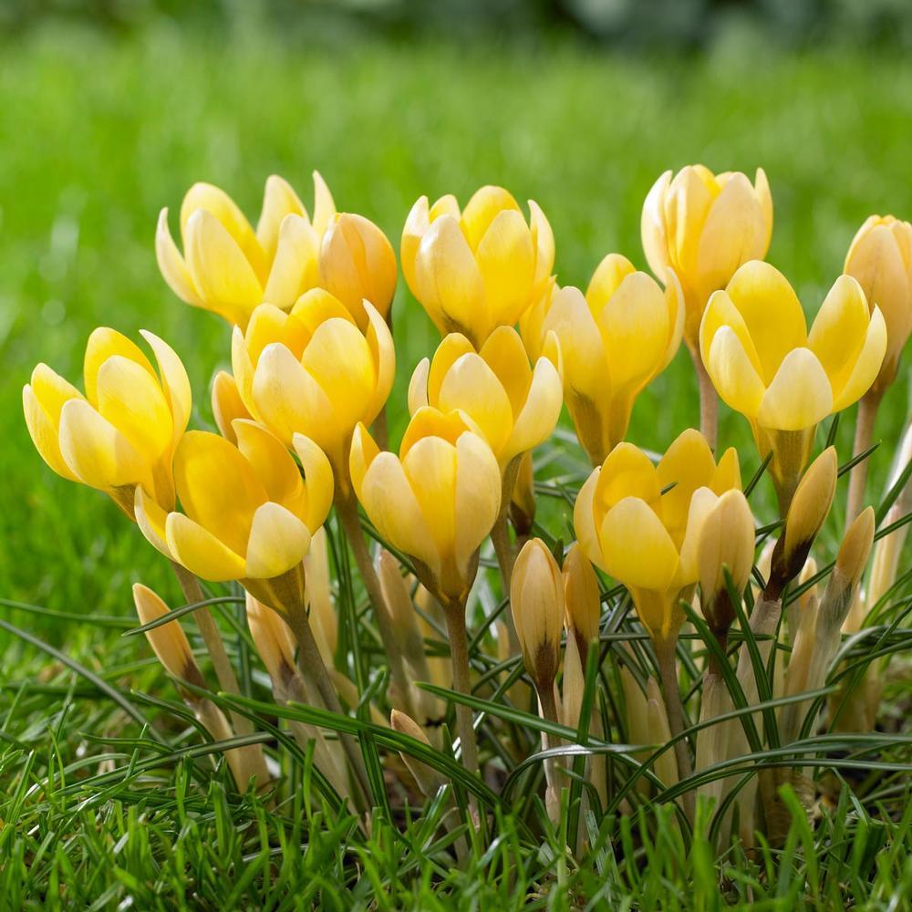 20 Sensational Spring Blooming Bulbs to Plant This Fall Crocus Romance #Crocus #Spring #SpringBulbs #PlantSpringBulbs #FallisForPlanting #SpringBlooming #SpringGarden #Garden #Landscape #Organic #LongfieldGardens #CrocusRomance