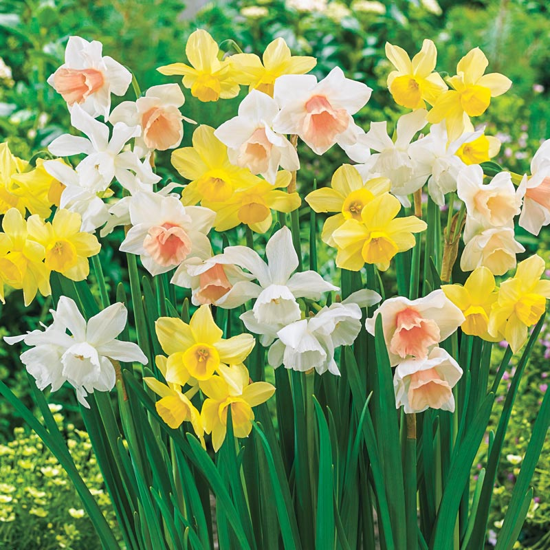 26 Spring Blooming Daffodils - 3 Months of Daffodils Mix #Daffodils #Narcissus #Spring #SpringBulbs #BulbPlanting #FallPlanting #Gardening #Landscape #AmericanMeadows #DeerResistant #Fragrant #FragrantDaffodils