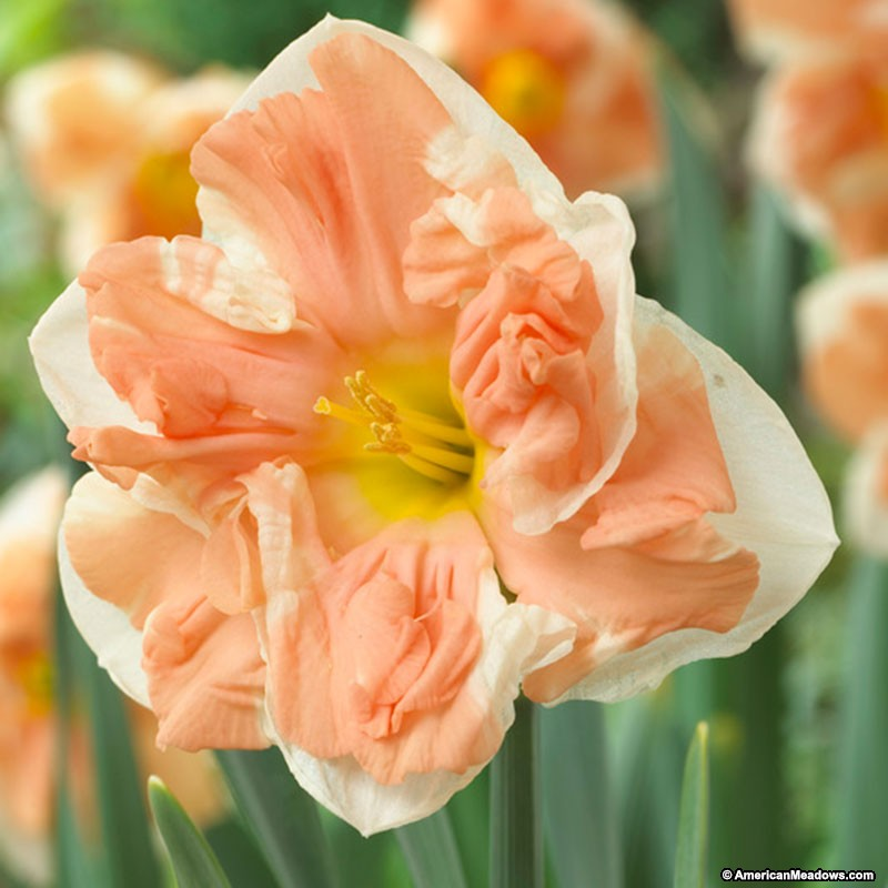 26 Spring Blooming Daffodils Apricot Whirl Butterfly Daffodils #Daffodils #Narcissus #Spring #SpringBulbs #BulbPlanting #FallPlanting #Gardening #Landscape #AmericanMeadows #ApricotWhirlButterflyDaffodil
