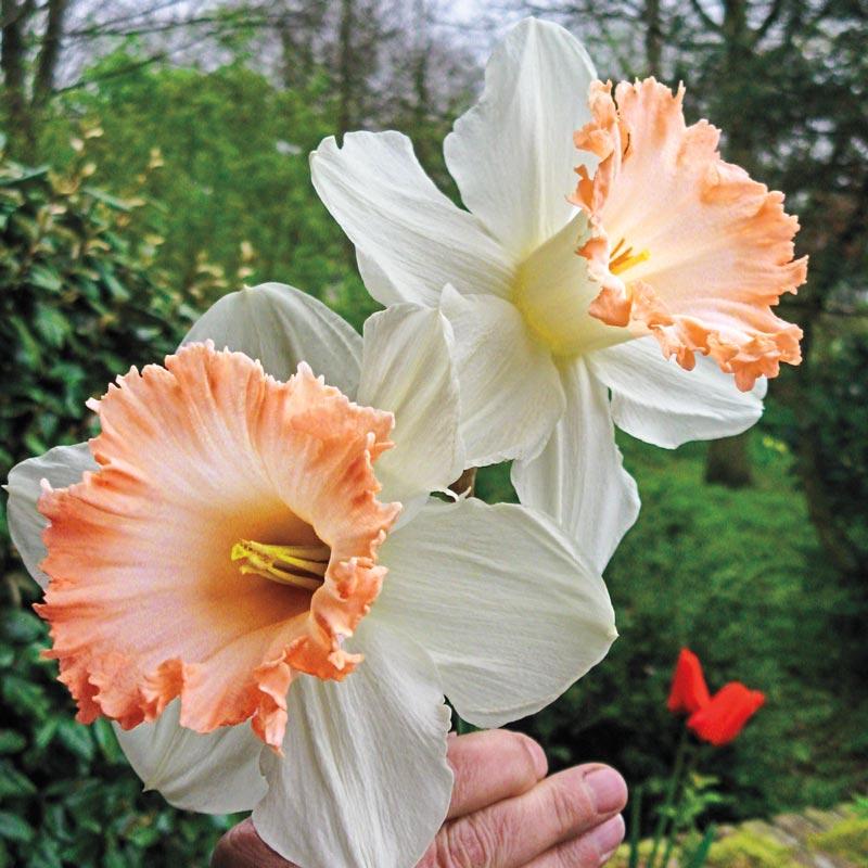 26 Spring Blooming Daffodils British Gamble Giant Daffodil #Daffodils #Narcissus #Spring #SpringBulbs #BulbPlanting #FallPlanting #Gardening #Landscape #DeerResistant #AmericanMeadows #BritishGambleDaffodils