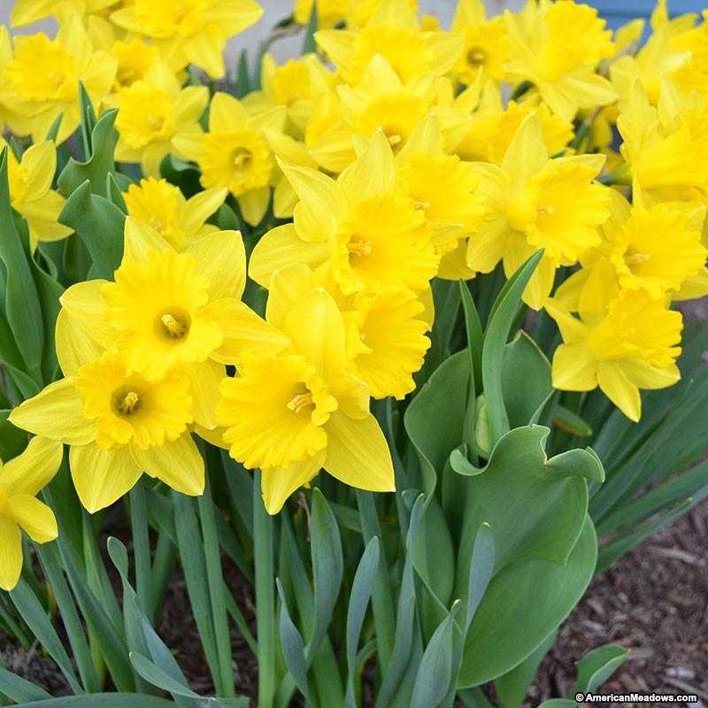 26 Spring Blooming Daffodils Dutch Master Trumpet Daffodil #Daffodils #Narcissus #Spring #SpringBulbs #BulbPlanting #FallPlanting #Gardening #Landscape #AmericanMeadows #DutchMasterDaffodils #KingAlfredImproved