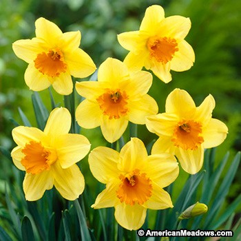 A D Fortissimo Large Cupped Daffodil