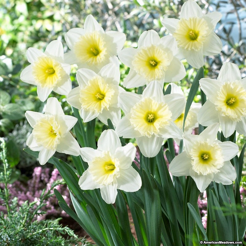 26 Spring Blooming Daffodils Ice Follies Large Cupped Daffodils #Daffodils #Narcissus #Spring #SpringBulbs #BulbPlanting #FallPlanting #Gardening #Landscape #IceFolliesDaffodils #DeerResistant #AmericanMeadows