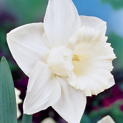 26 Spring Blooming Daffodils Mount Hood Daffodil #Daffodils #Narcissus #Spring #SpringBulbs #BulbPlanting #FallPlanting #Gardening #Landscape #DeerResistant #Brecks #MountHoodDaffodil