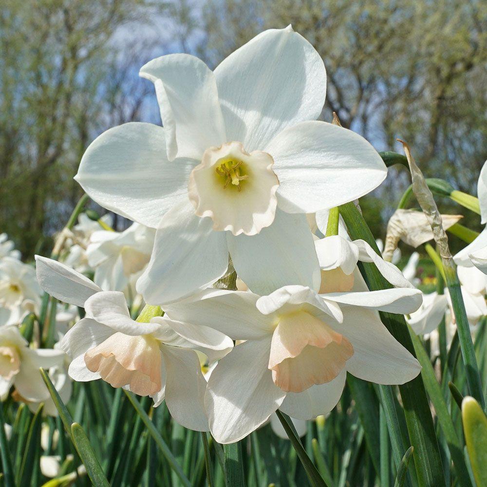 26 Spring Blooming Daffodils Narcissus Amore Mio #Daffodils #Narcissus #Spring #SpringBulbs #BulbPlanting #FallPlanting #Gardening #Landscape #WhiteFlowerFarm #NarcissusAmoreMio #DeerResistant