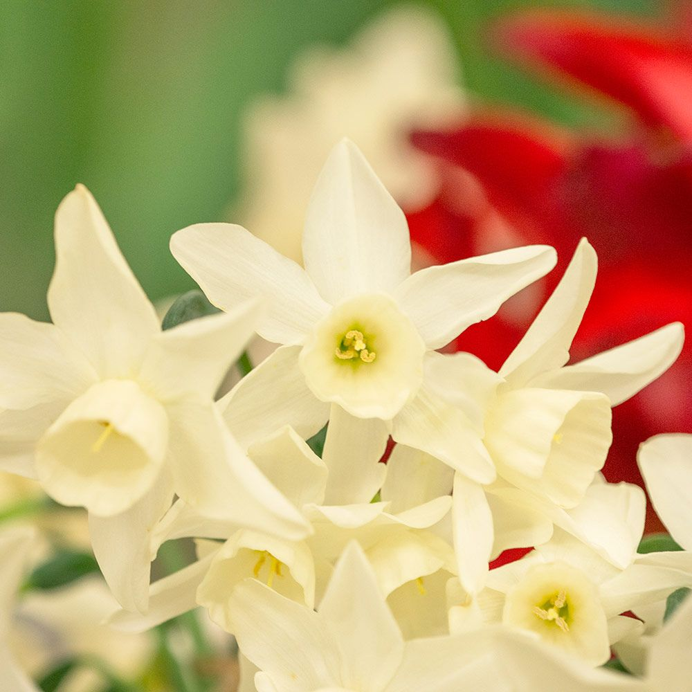 26 Spring Blooming Daffodils Narcissus Starlight Sensation #NarcissusStarlightSensastion #DeerResistant #Fragrant #FragrantDaffodils #Daffodils #Narcissus #Spring #SpringBulbs #BulbPlanting #FallPlanting #Gardening #Landscape #WhiteFlowerFarm