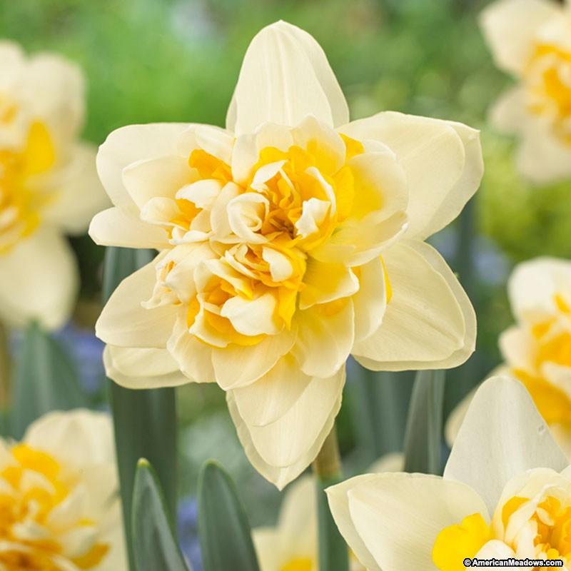 26 Spring Blooming Daffodils Peach Cobbler Double Daffodil #Daffodils #Narcissus #Spring #SpringBulbs #BulbPlanting #FallPlanting #Gardening #Landscape #PeachCobblerDoubleDaffodil #AmericanMeadows #Fragrant #FragrantDaffodil