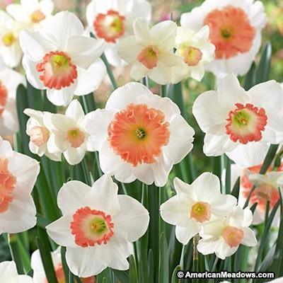26 Spring Blooming Daffodils - Pink Large Cupped Daffodil #Daffodils #Narcissus #Spring #SpringBulbs #BulbPlanting #FallPlanting #Gardening #Landscape #AmericanMeadows #DeerResistant