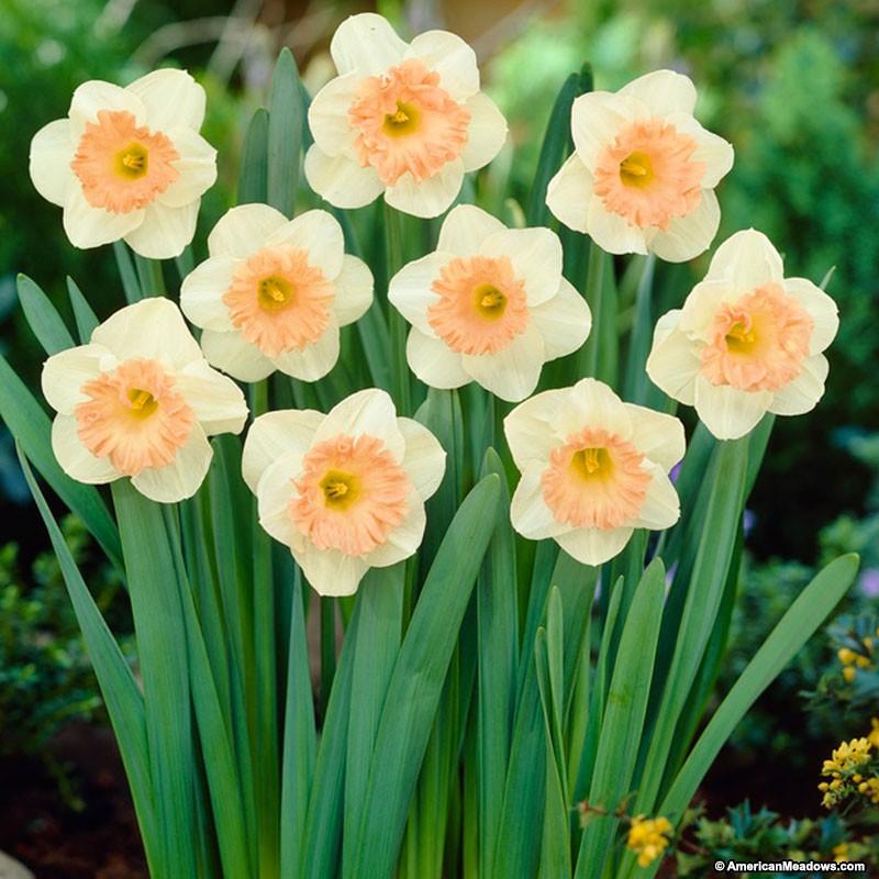 26 Spring Blooming Daffodils Pink Parasol Trumpet Daffodil #Daffodils #Narcissus #Spring #SpringBulbs #BulbPlanting #FallPlanting #Gardening #Landscape #AmericanMeadows #PinkParasolTrumpetDaffodil