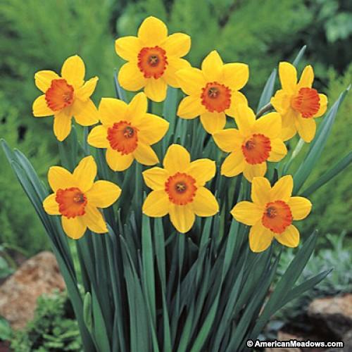 26 Spring Blooming Daffodils - Scarlet O'Hara Large Cupped Daffodils #Daffodils #Narcissus #Spring #SpringBulbs #BulbPlanting #FallPlanting #Gardening #Landscape #DeerResistant #AmericanMeadows #ScarletOHaraDaffodils