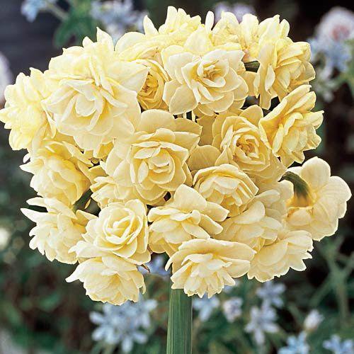 26 Spring Blooming Daffodils - Spring Cheer Daffodil #Daffodils #Narcissus #Spring #SpringBulbs #BulbPlanting #FallPlanting #Gardening #Landscape #DeerResistant #SpringCheerDaffodil #Brecks