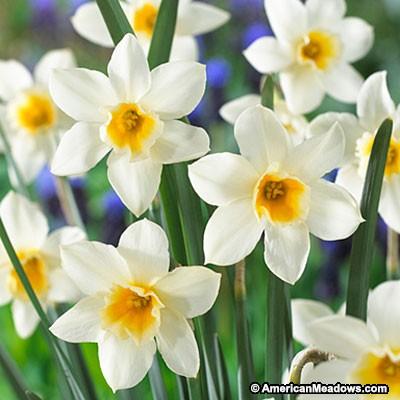 26 Spring Blooming Daffodils - Sweet Love Daffodil #Daffodils #Narcissus #Spring #SpringBulbs #BulbPlanting #FallPlanting #Gardening #Landscape #AmericanMeadows #SweetLoveDaffodils
