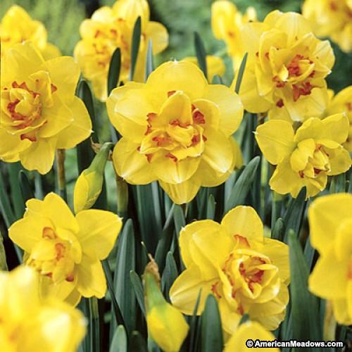 26 Spring Blooming Daffodils - Tahiti Double Daffodil #Daffodils #Narcissus #Spring #SpringBulbs #BulbPlanting #FallPlanting #Gardening #Landscape #TahitiDoubleDaffodil #AmericanMeadows