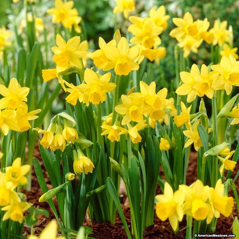 26 Spring Blooming Daffodils Tete A Tete Miniature Daffodil #Daffodils #Narcissus #Spring #SpringBulbs #BulbPlanting #FallPlanting #Gardening #Landscape #WhiteFlowerFarm #TeteaTeteMiniatureDaffodils #Fragrant #FragrantDaffodils