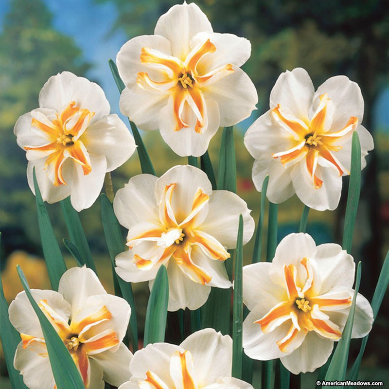 26 Spring Blooming Daffodils - Trepolo Butterfly Daffodil #TrepoloButterflyDaffodil #DeerResistant #Daffodils #Narcissus #Spring #SpringBulbs #BulbPlanting #FallPlanting #Gardening #Landscape #AmericanMeadows