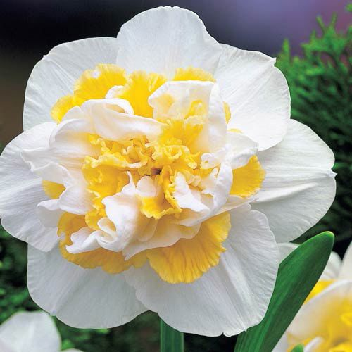 26 Spring Blooming Daffodils White Lion Daffodil #Daffodils #Narcissus #Spring #SpringBulbs #BulbPlanting #FallPlanting #Gardening #Landscape #DeerResistant #Brecks #WhiteLionDaffodil