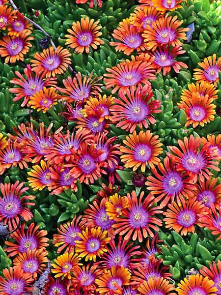 30 Rock Garden Plants That Perform Like Rock Stars Delosperma Fire Spinner Or Ice Plant #RockGarden #IcePlant #Delosperma #FireSpinnerDelosperma #GroundCover #AttractsButterflies #DeerResistant #DroughtTolerant #SandySoilTolerant #FallisForPlanting #HeatTolerant #DroughtTolerant #Garden #GardenBeds #GardenBorders #GardenSlope #GardenBank #ContainerGardening #Landscape #Organic #BluestonePerennials