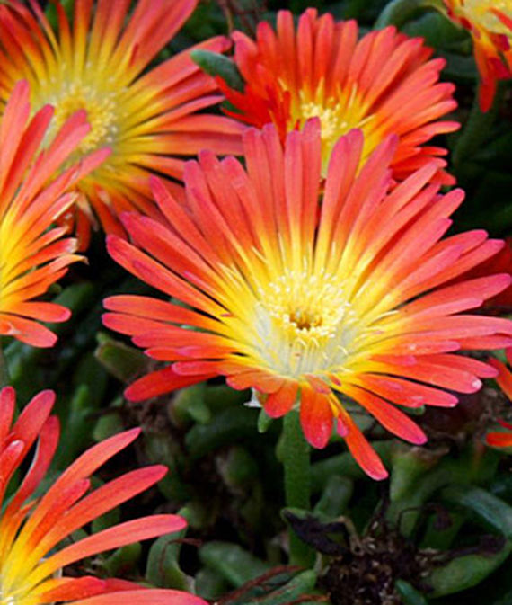 30 Rock Garden Plants That Perform Like Rock Stars Delosperma Fire Wonder #RockGarden #IcePlant #Delosperma #FireWonderDelosperma #GroundCover #heatTolerant #DroughtTolerant #FallisForPlanting #HeatTolerant #DroughtTolerant #Garden #GardenBeds #GardenBorders #GardenSlope #GardenBank #ContainerGardening #Landscape #Organic #Burpee