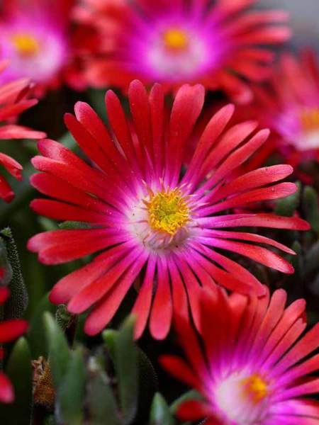 30 Rock Garden Plants That Perform Like Rock Stars Delosperma Garnet #RockGarden #IcePlant #Delosperma #GarnetDelosperma #JeweloftheDesert #GroundCover #AttractsButterflies #DeerResistant #FallisForPlanting #HeatTolerant #DroughtTolerant #SandySoilTolerant #Garden #GardenBeds #GardenBorders #GardenSlope #GardenBank #ContainerGardening #Landscape #Organic #BluestonePerennials