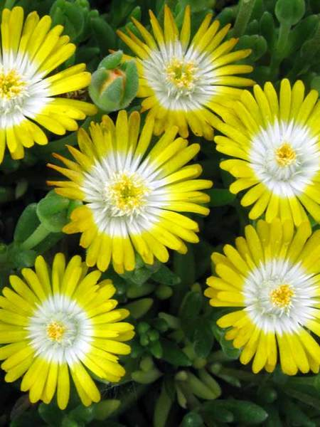 30 Rock Garden Plants That Perform Like Rock Stars Delosperma Peridot Or Ice Plant #RockGarden #IcePlant #Delosperma #DelospermaPeridot #JeweloftheDesert #GroundCover #AttractsButterflies #DeerResistant #FallisForPlanting #HeatTolerant #DroughtTolerant #SandySoilTolerant #Garden #GardenBeds #GardenBorders #GardenSlope #GardenBank #ContainerGardening #Landscape #Organic #BluestonePerennials