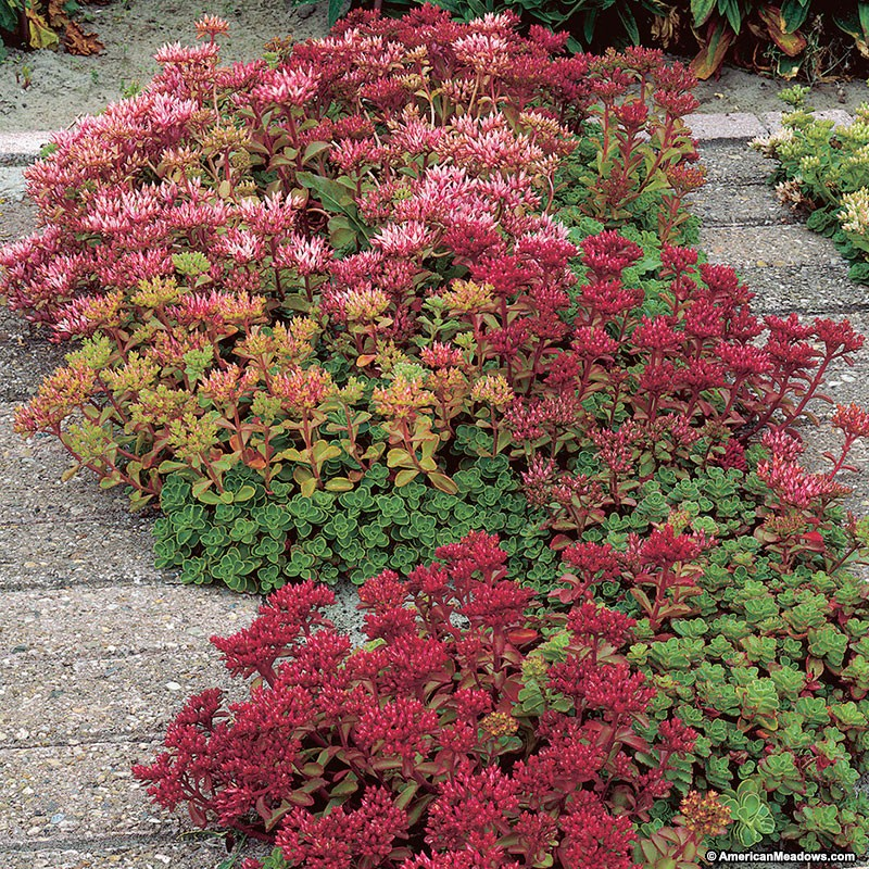 30 Rock Garden Plants That Perform Like Rock Stars Dragon's Blood Sedum #RockGardens #Sedum #DragonsBloodSedum #Stonecrop #GroundCover #AttractsButterflies #AttractsBirds #AttractsBees #BeeFriendly #DeerResistant #RabbitResistant #EasyToGrow #FootTraffic #SmallSpace #Everygreen #FallisForPlanting #Garden #Landscape #Organic #AmericanMeadows