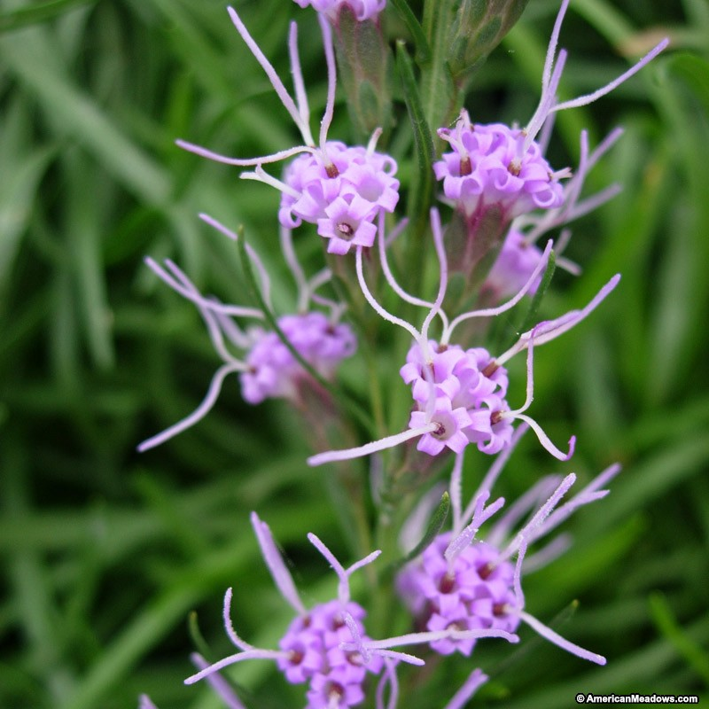 22 Sandy Soil Perennials For Shade Dwarf Blazing Star #DwarfBlazingStar #Perennials #ShadeLoving #ShadeLover #SandySoil #SandySoilPerennials #DroughtResistant #DroughtTolerant #Gardening #Landscape #AmericanMeadows #AtractsBirds #AttractsHummingbirds #HummingbirdLover #AttractsButterflies #ButterflyLover #Native #BeeFriendly #DrySiteTolerant #HumidityTolerant