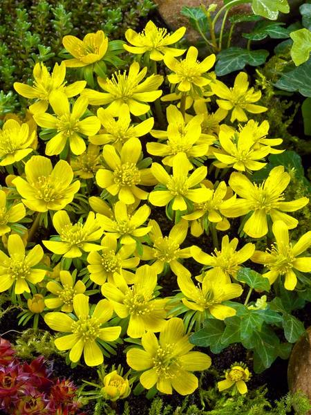 20 Sensational Spring Blooming Bulbs to Plant This Fall Eranthis Hyemalis Or Winter Aconite #Allium #Spring #SpringBulbs #PlantSpringBulbs #FallisForPlanting #SpringBlooming #SpringGarden #Garden #Landscape #Organic #BluestonePerennials #WinterAconite #DeerResistant #RabbitResistant #ContainerGardening #RockGardens #GroundCover