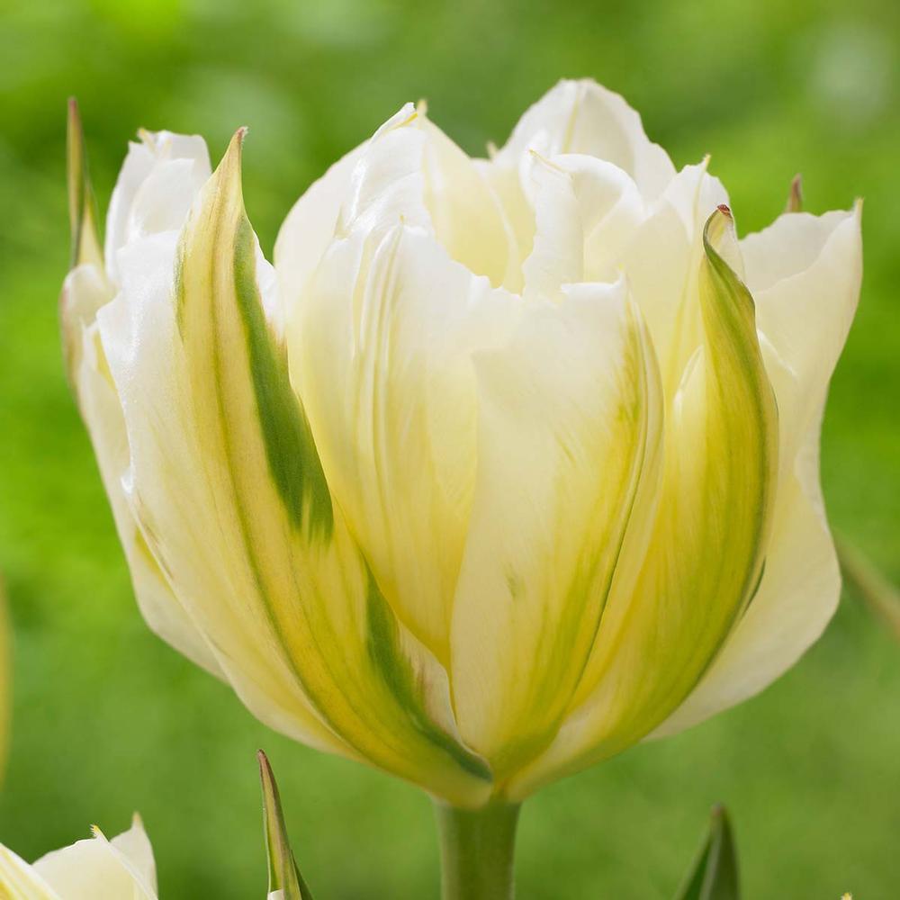 28 Spring Blooming Tulips Exotic Emperor Tulip #LongfieldGardens #ExoticEmperorTulip #Tulip #Spring #SpringBulbs #PlantSpringBulbs #FallisForPlanting #WhiteFlowerFarm #SpringGarden #Garden #Landscape #Organic