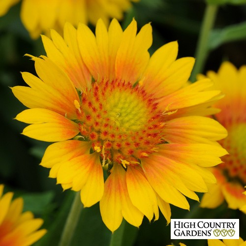 50 Sandy Soil Perennials That Like Sun Gaillardia Mesa Peach #Gaillardia #BlanketFlower #MesaPeachBlanketFlower #DeerResistant #RabbitResistant #DroughtTolerant #ContainerGardening #Perennials #SunLoving #SunLover #SandySoil #Gardening #Landscape #HighCountryGardens #AttractsButterflies #AttractsBees #ButterflyLover #BeeLover #SmallSpaceGardening