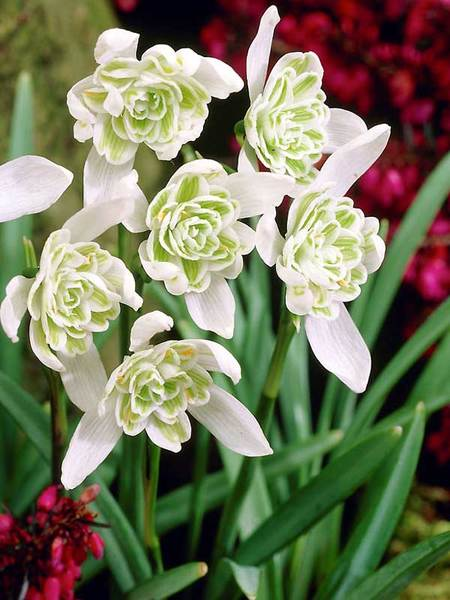 20 Sensational Spring Blooming Bulbs to Plant This Fall Galanthus Flore Pleno Or Snowdrops #Snowdrops #Galanthus #Spring #SpringBulbs #PlantSpringBulbs #FallisForPlanting #SpringBlooming #SpringGarden #Garden #Landscape #Organic #BluestonePerennials #DeerResistant #DryShadeTolerant