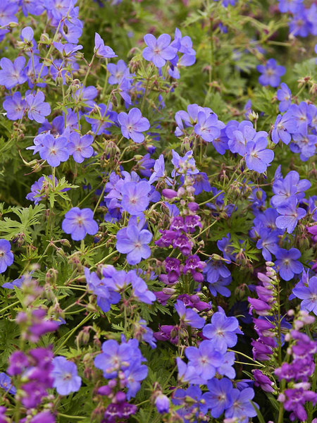 50 Sandy Soil Perennials That Like Sun Geranium Johnsons Blue #Geranium #GeraniumJohnsonsBlue #Cranesbill #ShadeTolerant #DeerResistant #SeasideTolerant #GroundCover #Perennials #SunLoving #SunLover #SandySoil #Gardening #Landscape #BluestonePerennials #AttractsButterflies #ButterflyLover