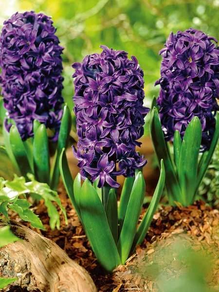 20 Sensational Spring Blooming Bulbs to Plant This Fall Hyacinth Aida #Hyacinth #Spring #SpringBulbs #PlantSpringBulbs #FallisForPlanting #SpringBlooming #SpringGarden #Garden #Landscape #Organic #BluestonePerennials #HyacinthAida #Fragrant #DeerResistant #RabbitResistant #ContainerGardening