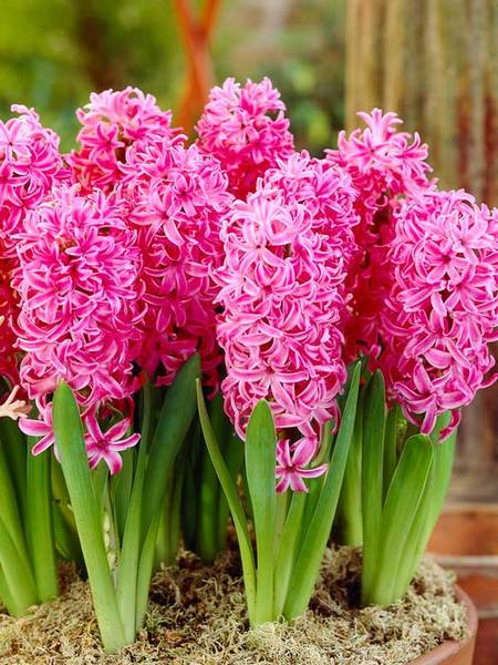 20 Sensational Spring Blooming Bulbs to Plant This Fall Hyacinth Pink Pearl #Hyacinth #Spring #SpringBulbs #PlantSpringBulbs #FallisForPlanting #SpringBlooming #SpringGarden #Garden #Landscape #Organic #BluestonePerennials #HyacinthPinkPearl #Hyacinth #Fragrant #DeerResistant #RabbitResistant #ContainerGardening