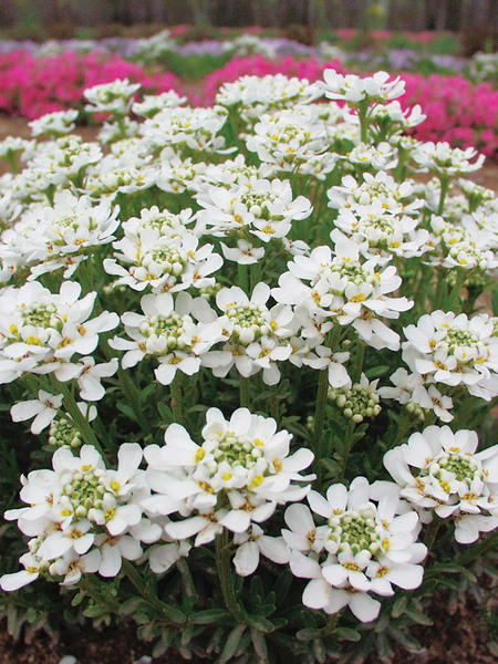 50 Sandy Soil Perennials That Like Sun Iberis Autumn Beauty #Candytuft #IberisAutumnBeauty #DeerResistant #RabbitResistant #SeasideTolerant #HumidityTolerant #Perennials #SunLoving #SunLover #SandySoil #Gardening #Landscape #BluestonePerennials #HummingbirdLover #ButterflyLover