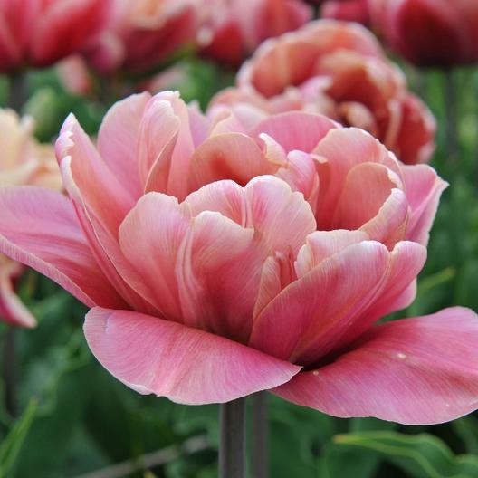 28 Spring Blooming Tulips La Belle Epoque Tulip #Tulip #Spring #SpringBulbs #PlantSpringBulbs #FallisForPlanting #SpringFlowers #SpringBouquet #SpringGarden #Garden