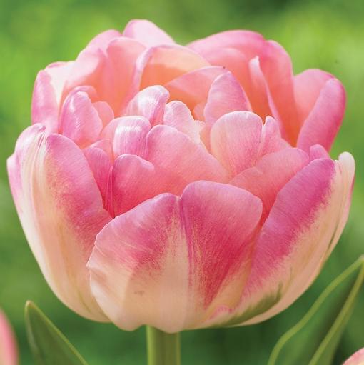 28 Spring Blooming Tulips Creme Upstar Double Tulip #CremeUpstarTulip #LongfieldGardens #Tulip #Spring #SpringBulbs #PlantSpringBulbs #FallisForPlanting #WhiteFlowerFarm #SpringGarden #Garden #Landscape #Organic