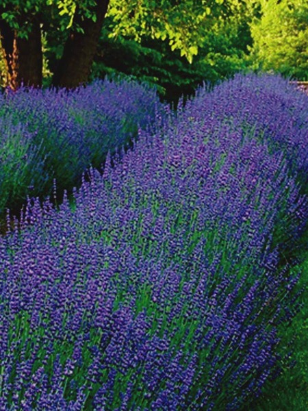 50 Sandy Soil Perennials That Like Sun Lavendula Phenomenal #LavendulaPhenomenal #Lavender #SandySoil #SandySoilGardening #Gardening #Landscaping #SandySoilPerennials