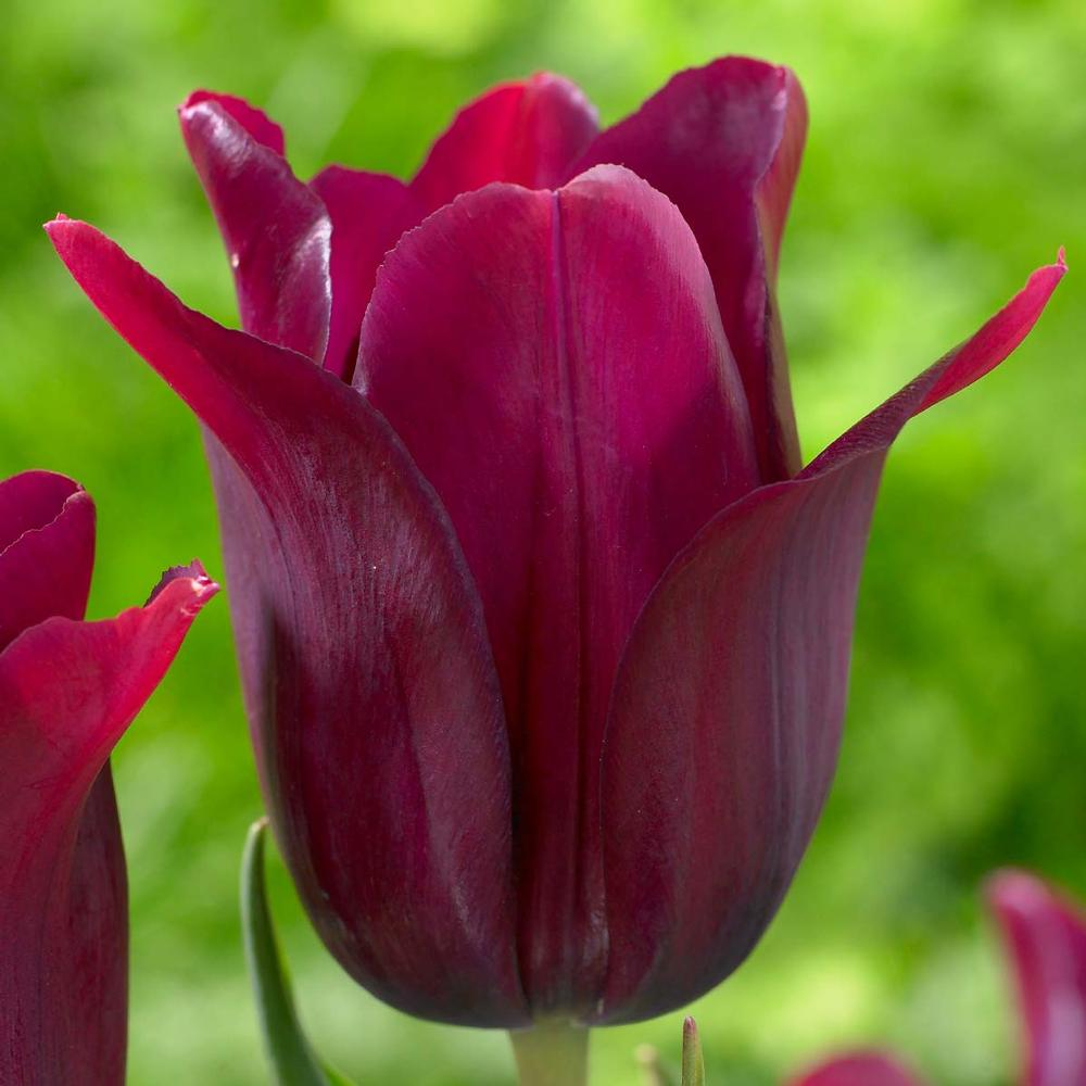 28 Spring Blooming Tulips Lily Flowering Merlot Tulip #Tulip #Spring #SpringBulbs #PlantSpringBulbs #FallisForPlanting #WhiteFlowerFarm #SpringGarden #Garden #Landscape #Organic #LilyFloweringMerlotTulip #MerlotTulip #LongfieldGardens